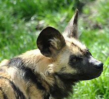 African Wild Dog by Dorothy Thomson