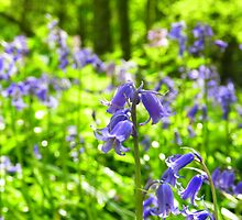 Bluebell wood! by weecritter