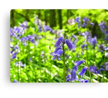 Bluebell wood! Canvas Print