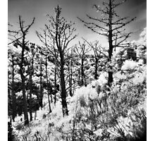 Dead Pines on Angel Island Photographic Print