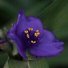 Common Spiderwort ~ by Renee Blake