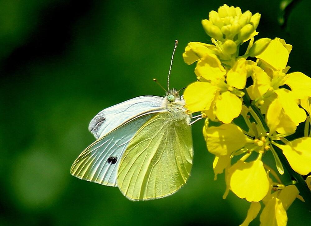 Mellow Butterfly by Rosanne Jordan