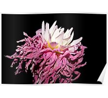 Beauty in Aging - Portrait of a Dahlia Poster