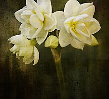 A beautiful Jonquil morning by Clare Colins