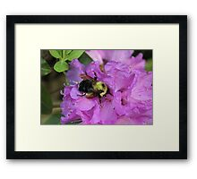 Bumble Bee on Rhododendron Framed Print
