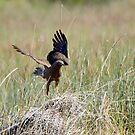 The Harrier Dance by byronbackyard