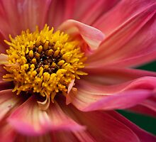 Macro photo of pink and yellow flower by crazylemur