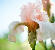 Iris in Bloom by CandiMerritt