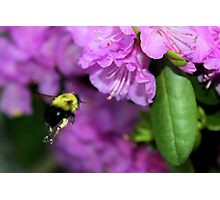 Flying Bumble Bee Collection Pollen Photographic Print