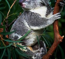 Koala by Jill Fisher