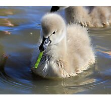 Learning to Eat, baby Black  swan Photographic Print