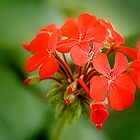 the red bunch by lensbaby