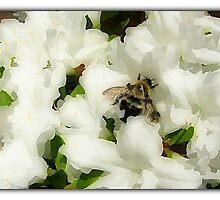 White Azaleas by sillyfrog