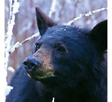 BLACK BEAR SMOKY MOUNTAINS Photographic Print