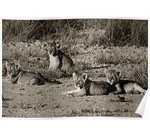 Lion cubs relaxing in the sun Poster