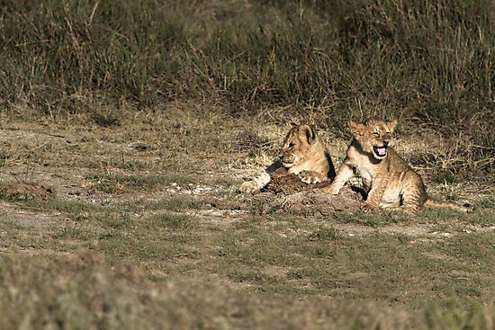 Two lion cubs in the sun by arodericks
