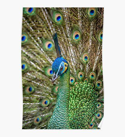 Displaying peacock Poster