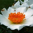 Wild Roses by Janice Carter