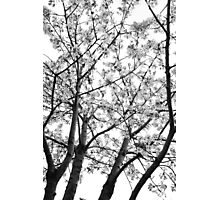 Sakura Like Image Photographic Print