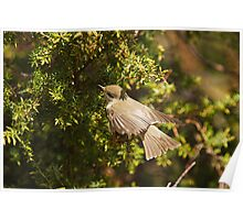 Willow Warbler Flying into Gorse Poster