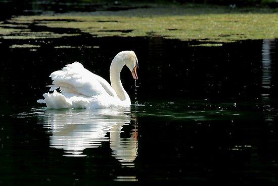 Swan by PhotoTamara