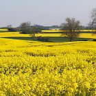 Fields of Yellow by redown