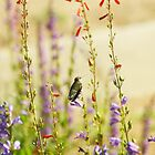 Hummingbird and Penstemon by Barbara Muller