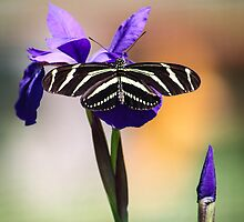 Zebra Longwing on Iris  by Robert Kelch, M.D.