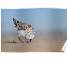Low Angle Sanderling Foraging. Poster