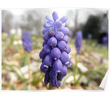 Grape  Hyacinth at Rock City Poster