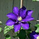 Purple Flower by Randall Robinson