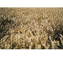 Wheat In The Wind Photographic Print