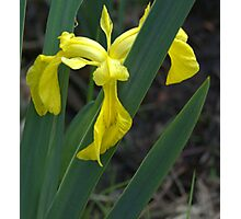 Yellow Iris Photographic Print