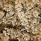 Cluster of rice flowers by Celeste Mookherjee
