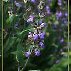 Salvia Officinalis by artsandherbs