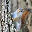 Baby Red Squirrel by Raider6569