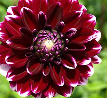 Dahlia - Burgundy with white tips by Bev Pascoe