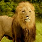 Male Lion by AntonAlberts