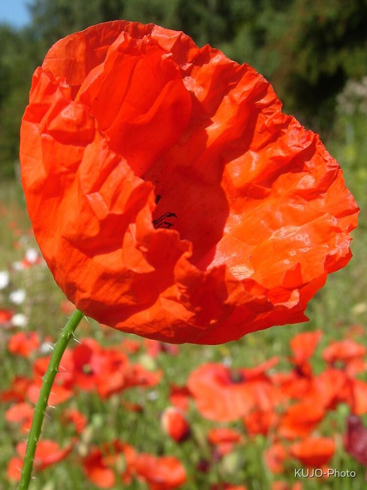 Red Field Poppy by KUJO-Photo