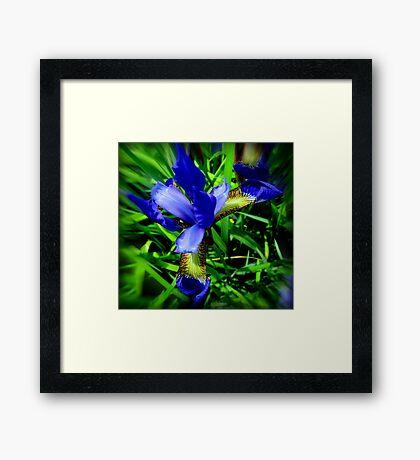 Iris Beauty Framed Print