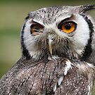 White-faced Scops Owl by alan tunnicliffe