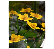 Marsh Marigolds Poster
