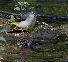Grey Wagtail.. by Lauren Tucker
