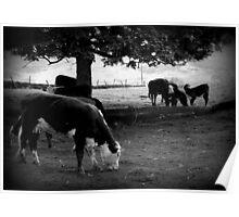 Cow & Calf Poster