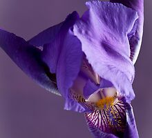 Purple Iris 1 by Jacinthe Brault