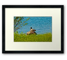 A Rock Duck Framed Print