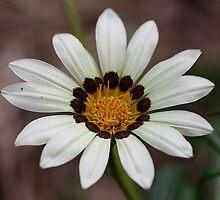 Daisy by cathywillett