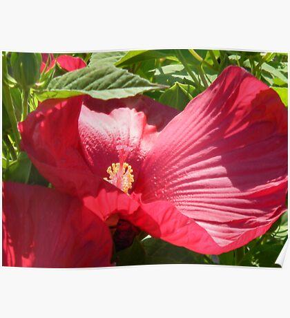 Hibiscus' True Colors Poster