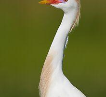 Cattle Egret in Breeding Plumage by Daniel Cadieux