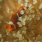 Spinecheek Clownfish by Todd Krebs